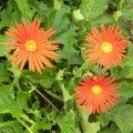 Gerbera jamesonii single red