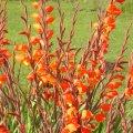 Gladiolus dalenii