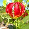 Gloriosa superba flower