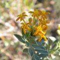Gnidia capitatum flower