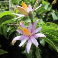 Grewia occidentalis flower