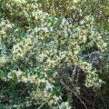 Gymnosporia polyacantha