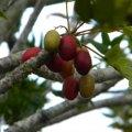 Harpephyllum caffrum fruit