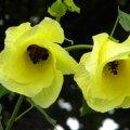 Hibiscus ludwiggii flower