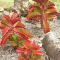 The leaves of Kalanchoe sexangulares turn bright red in full sun.
