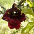 Kigelia africana flower 1