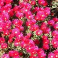 Lampranthus species red