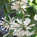 Leonotis leonurus var. albiflora