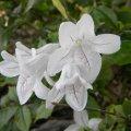 Mackaya bella flower close