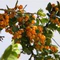 Maytenus procumbens fruit