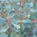 Morella quercifolia foliage