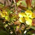Ochna serrulata flower