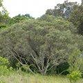 Olea europea subsp. Africana