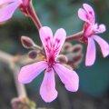 Pelargonium reniforme flower