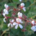 Pelargonium fragrans