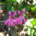 Pelargonium ionidiflorum flower