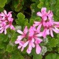 Pelargonium panduriforme flowers