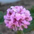 Pelargonium quercifolium flowerhead