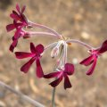 Pelargonium sidoides flower close