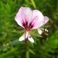 Pelargonium tetragonum flower