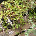 Plectranthus sp. unknown 2