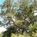 Podocarpus falcatus form