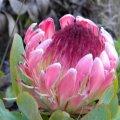 Protea eximia flower