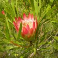 Protea repens flower