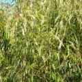 Prunus africana flower mass