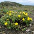 Rhombophyllum dolabriforme flowers