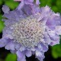 Scabiosa incisa flower