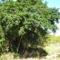 Searsia chirindensis