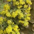 Senecio tamoides - variegated