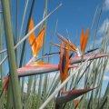 Strelitzia juncea flower