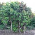 Synadenium cupulare form