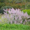 Tetradenia riparia flowering