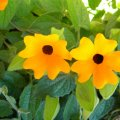 Thunbergia alata flower