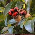 Trichelia emitica