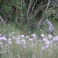 Tulbaghia violacea
