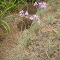 Tulbaghia violacea Silver lace