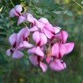Virgilia divaricata flower