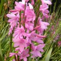 Watsonia borbonica flower head