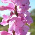 Watsonia marginata