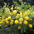 Vachellia Karoo's yellow pom-pom flowers
